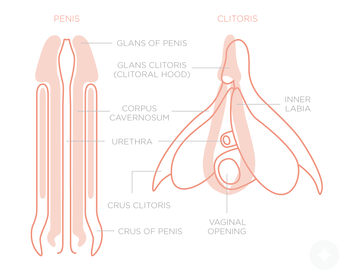 The male external genitalia has a resemblance to the female internal genitalia, hence the reason for men and women experiencing similar orgasms