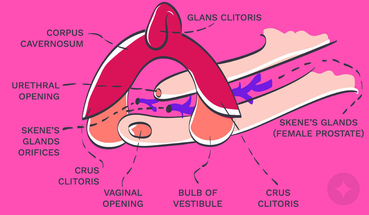 The G-Spot is surrounded by the nerve-rich clitoral bulb.