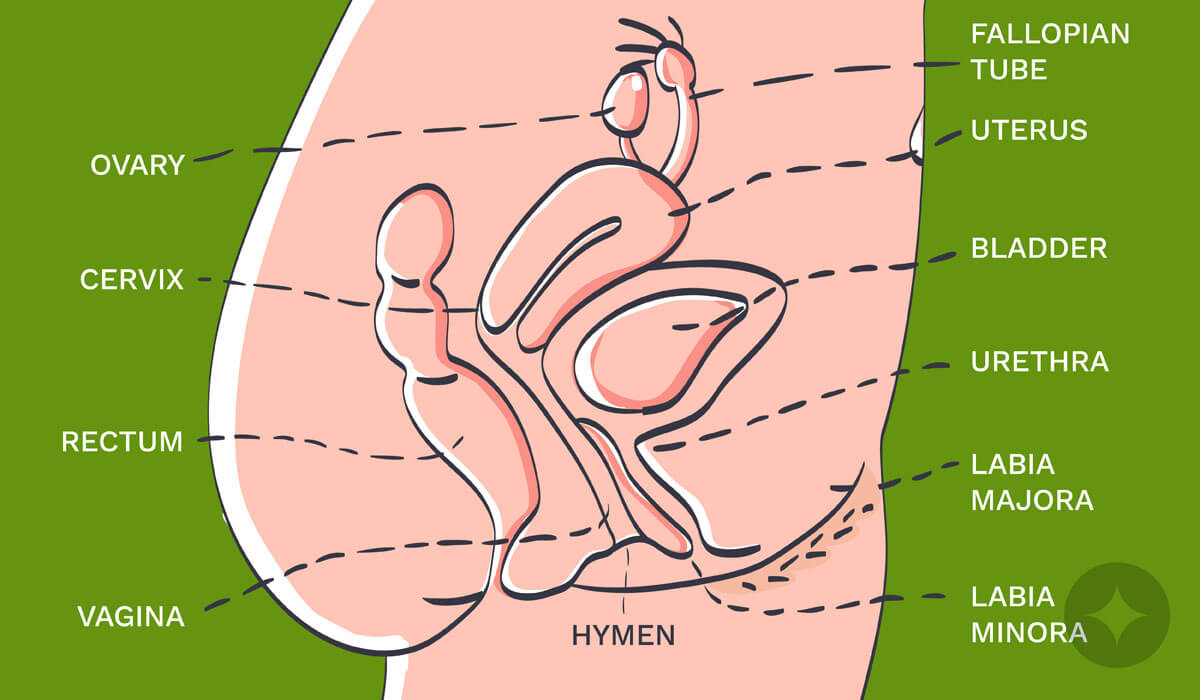 Here's the urethral meatus diagram - important one to learn about the vulva anatomy